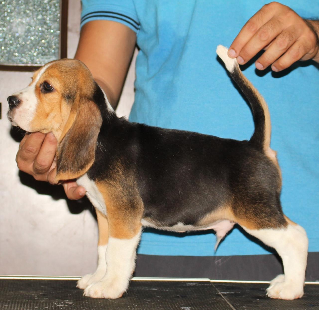 Blue Bell Beagles - For Sale